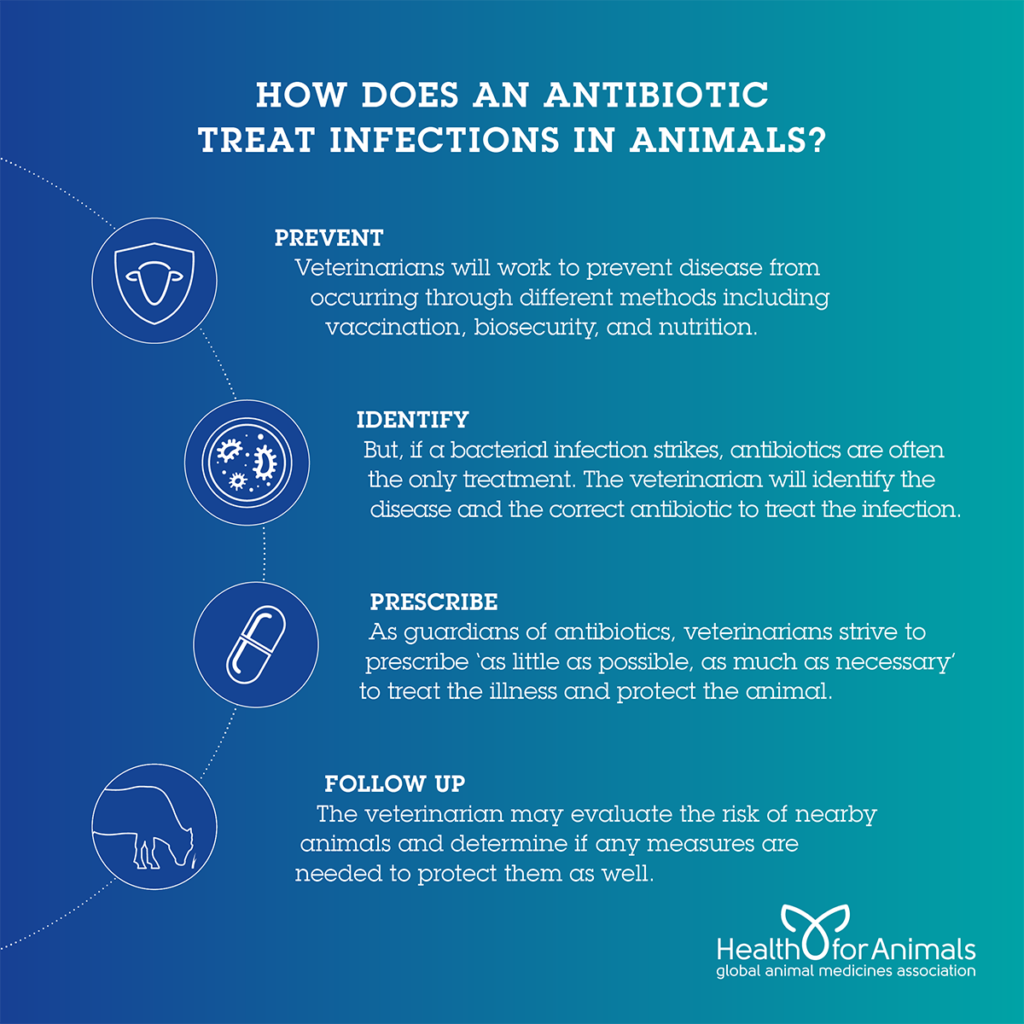 How Does An antibiotic treat infections in animals
